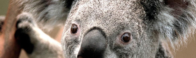 Koala.crop 1024x306 0,231.resize 1170x
